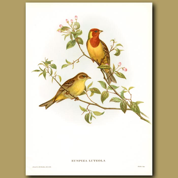 Antique print. Red Headed Bunting