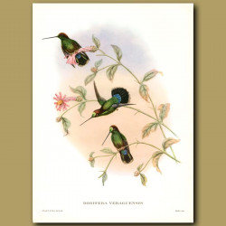 Humming Bird: Veruguan Lance-Bill