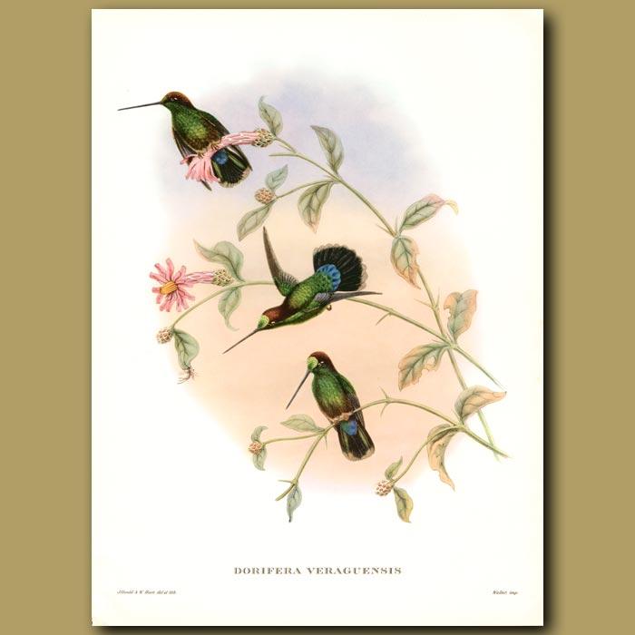 Antique print. Humming Bird: Veruguan Lance-Bill