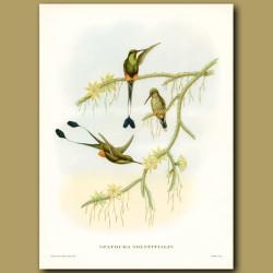 Humming Bird: Ecuador Racket Tail