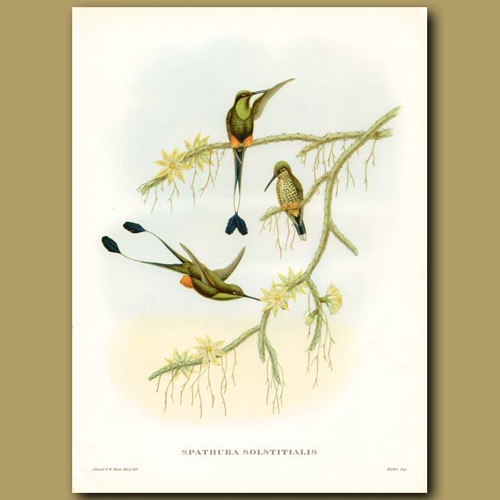 Antique print. Humming Bird: Ecuador Racket Tail