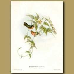 Humming Bird: Buff Breasted Leucippus