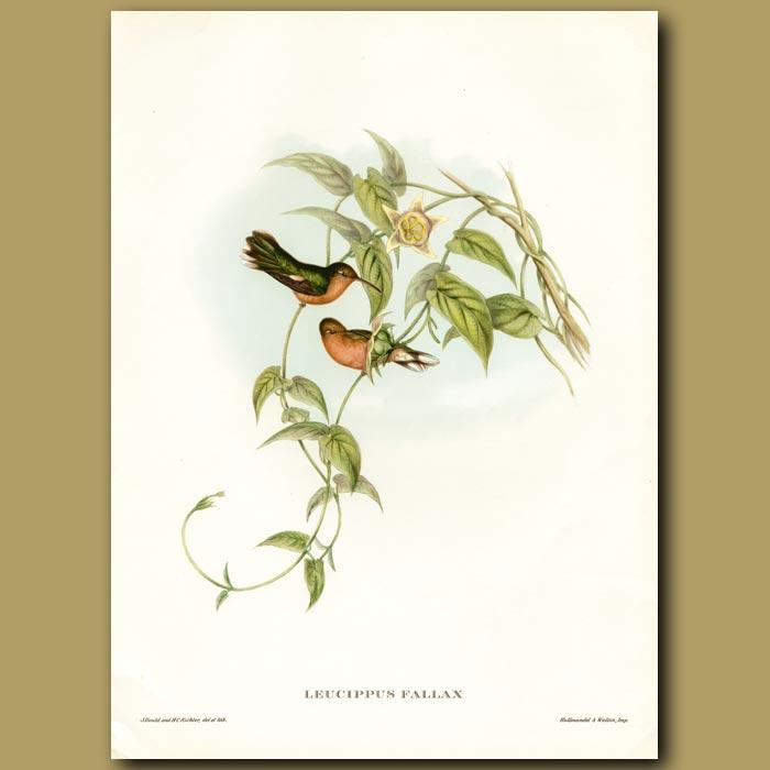 Antique print. Humming Bird: Buff Breasted Leucippus