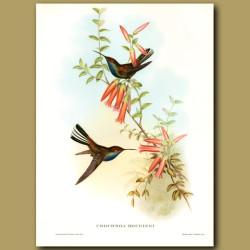 Humming Bird: Pied Tail