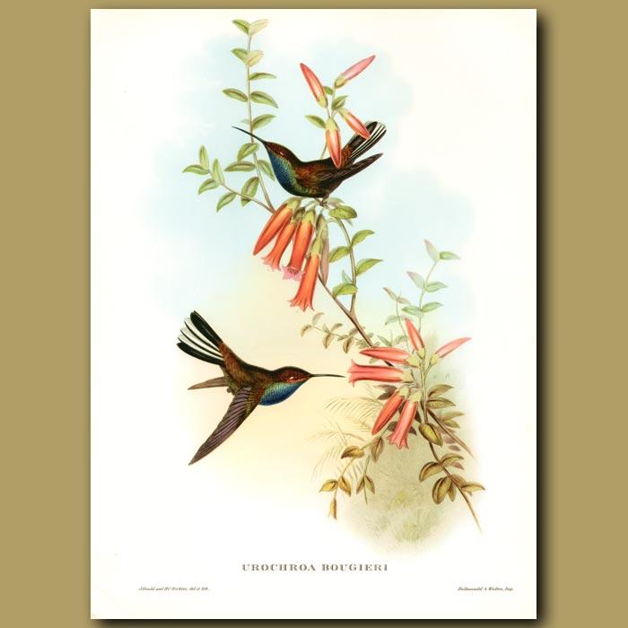 Antique print. Humming Bird: Pied Tail