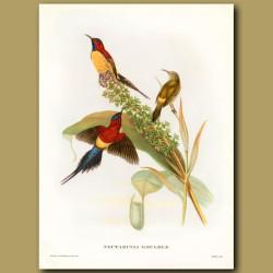 Mrs Gould's Sun Bird On Carnivorous Pitcher Plant