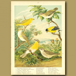 Yellow Warbler, White-Eyed Vireo, Yellow-Breasted Chat, Red-Eyed Vireo, American Goldfinch And Louis