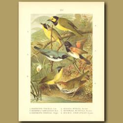 Common Yellowthroat, Cerulean Warbler, Kentucky Warbler, Hooded Warbler, American Redstart And Ovenb
