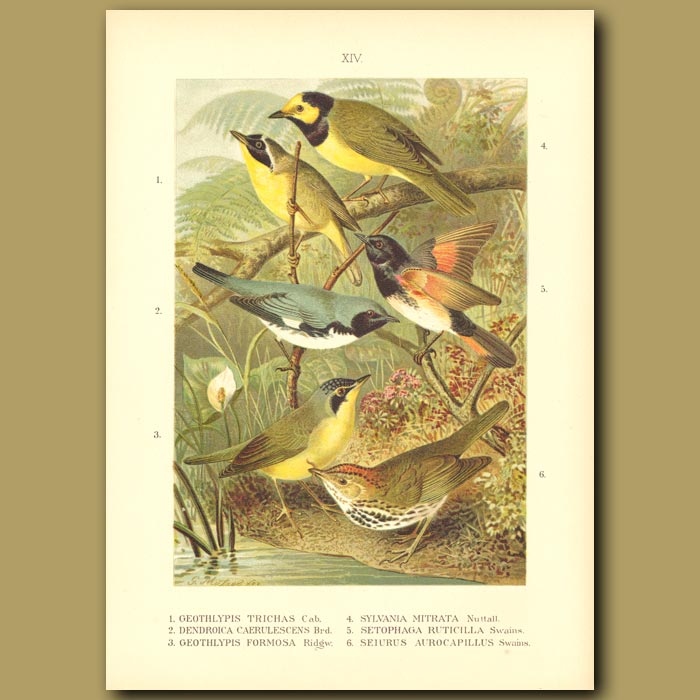Antique print. Common Yellowthroat, Cerulean Warbler, Kentucky Warbler, Hooded Warbler, American Redstart And Ovenb