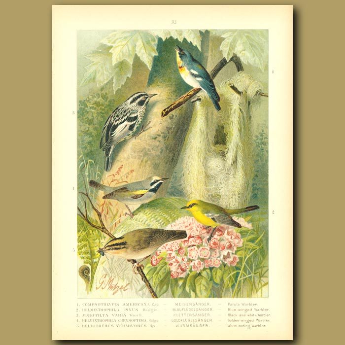 Antique print. Parula, Blue-Winged, Black And White, Golden-Winged And Worm-Eating Warblers
