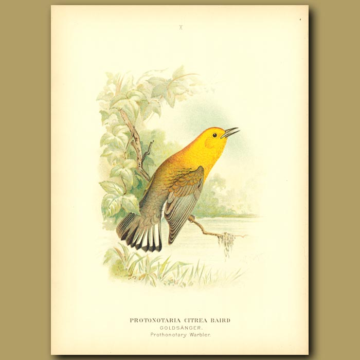 Antique print. Prothonotary Warbler