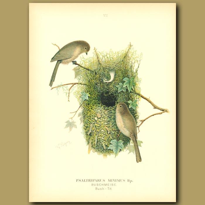 Antique print. Bush-Tits And Nest