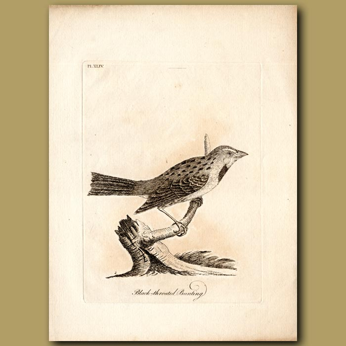 Antique print. Dickcissel or Black-throated Bunting