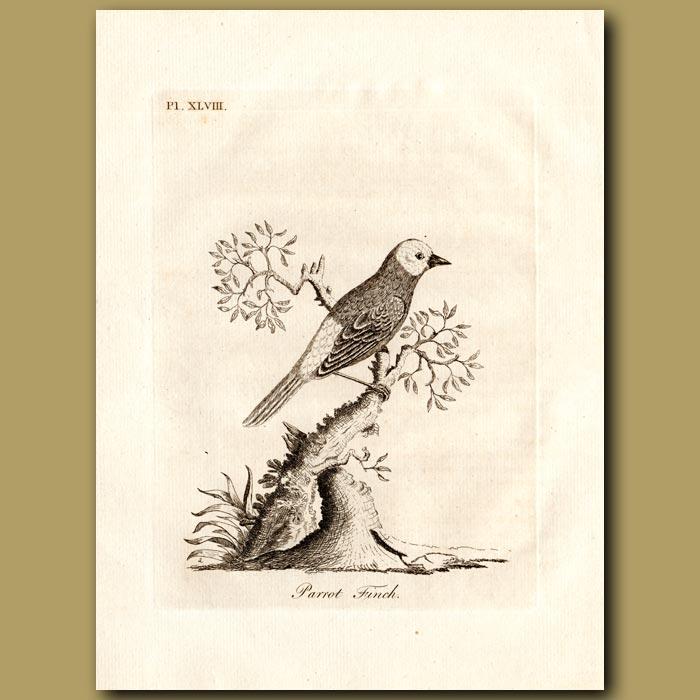 Antique print. Parrot Finch