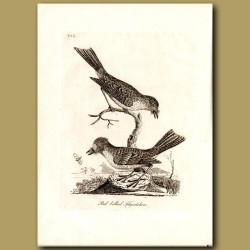 Red-Bellied Flycatcher