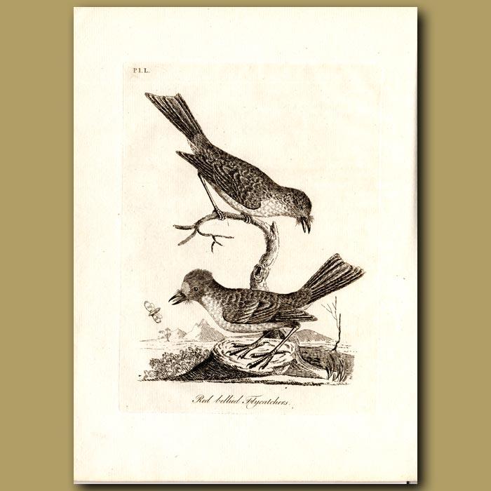 Antique print. Red-bellied Flycatcher