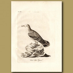 Tooth-Billed Pigeon Or Hook-Billed Pigeon