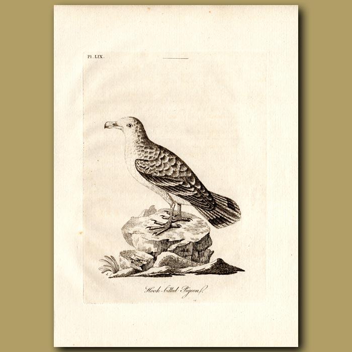 Antique print. Tooth-billed Pigeon or Hook-billed Pigeon