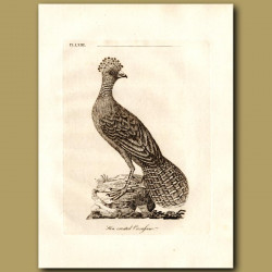 Great Curassow Or Hen Crested Curassow