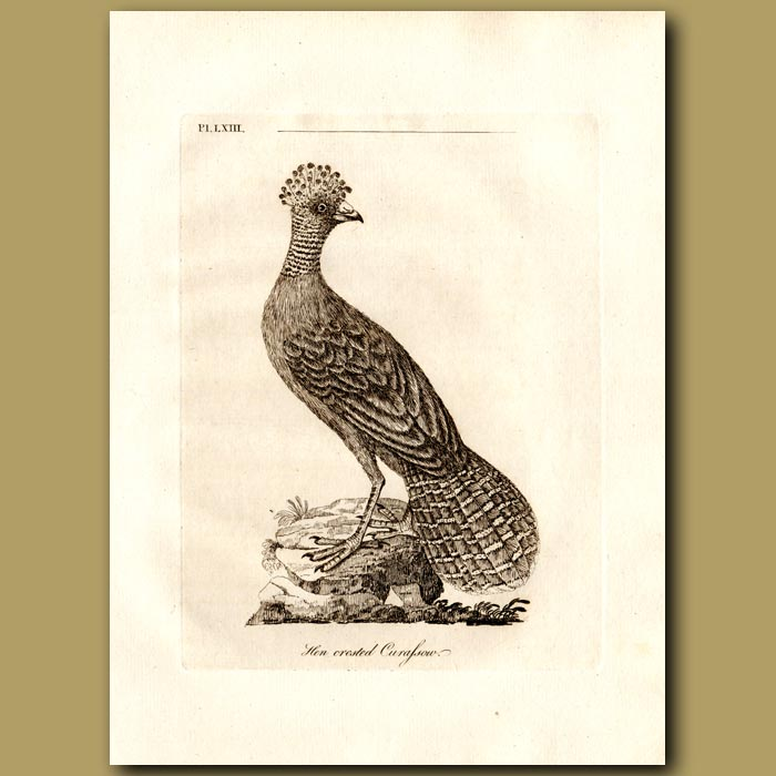 Antique print. Great Curassow or Hen Crested Curassow