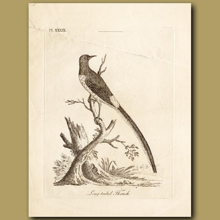 Antique print. Long-tailed Thrush