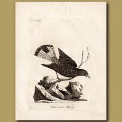 White-Tailed Thrush