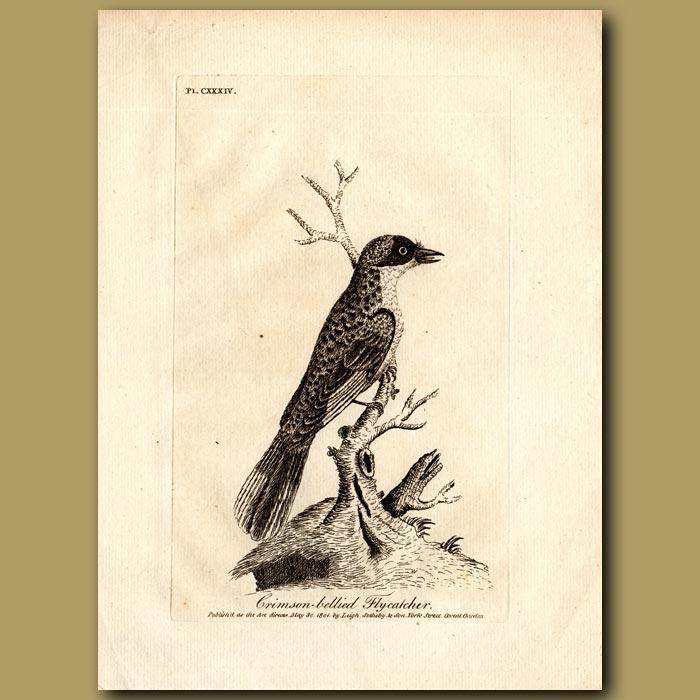 Antique print. Crimson-bellied Flycatcher