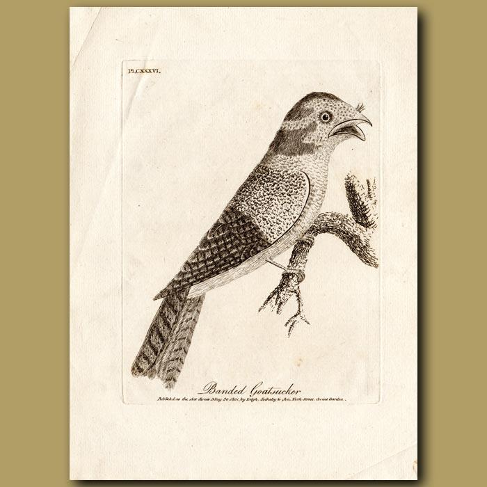 Antique print. Banded Nighthawk