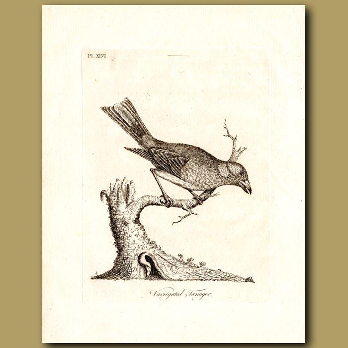 Antique print. Scarlet Tanager or Variegated Tanager