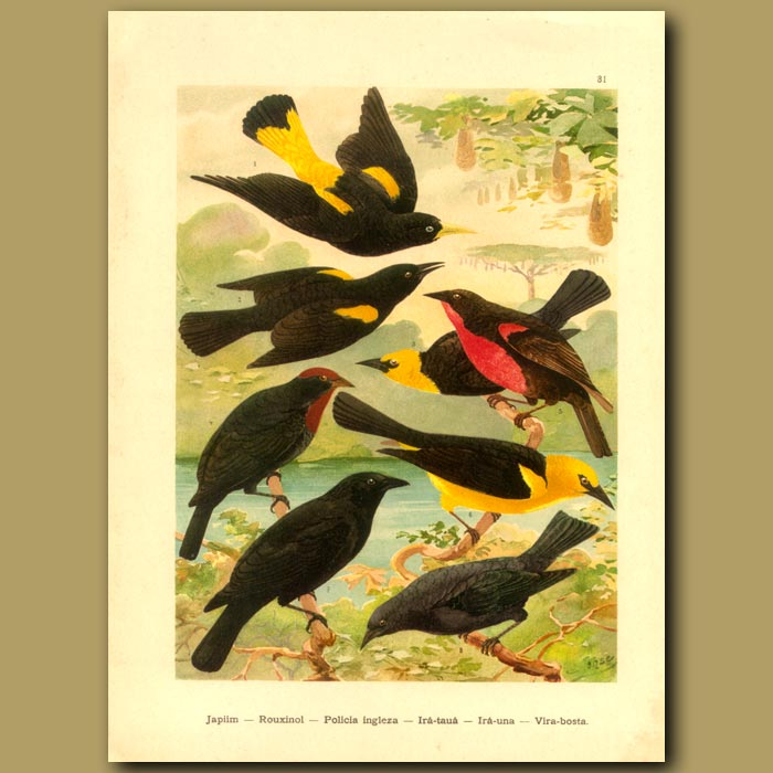 Antique print. Grackles, Orioles and Blackbirds
