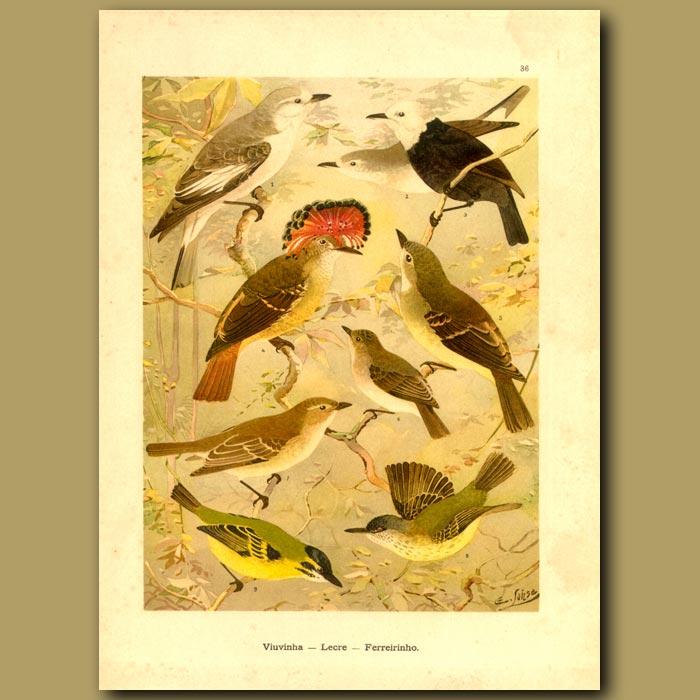 Antique print. Tyrant Flycatcher Birds