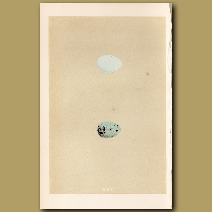 Antique print. Starling