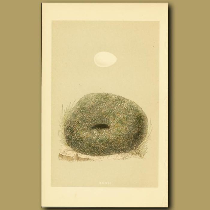 Antique print. Dipper Nest