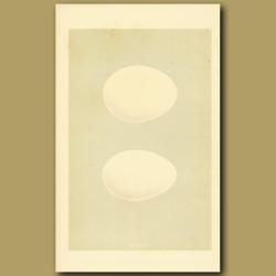 White And Black Stork Eggs