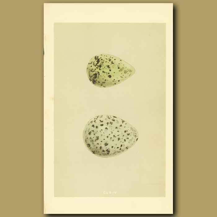 Antique print. Whimbrel Eggs