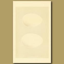 Grey-Lag Goose And Bean Goose Eggs