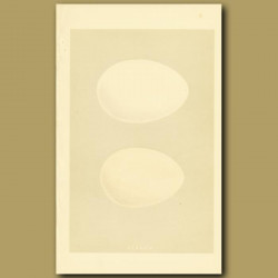 Pink-Footed And White-Fronted Goose Eggs