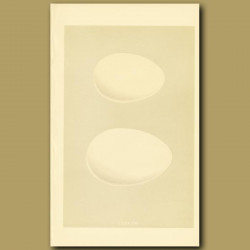 Egyptian Goose And Canada Goose Eggs
