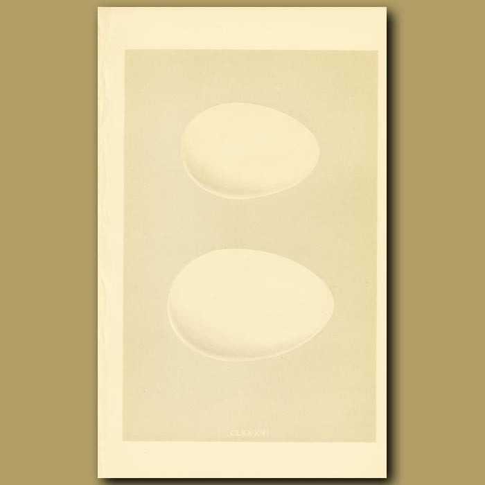 Antique print. Egyptian Goose And Canada Goose Eggs