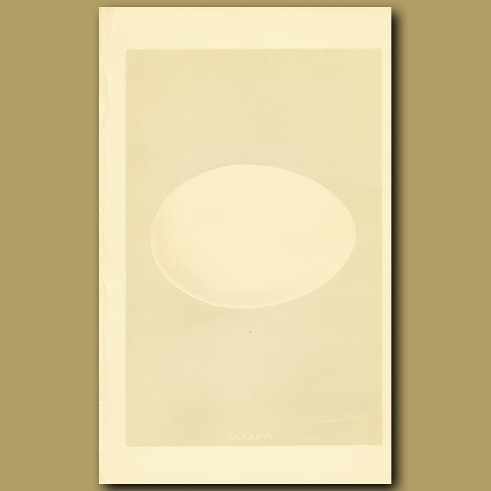 Antique print. Hooper Swan Egg