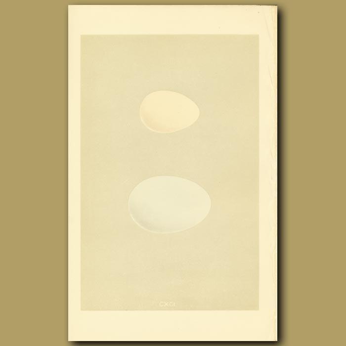 Antique print. Wild Duck And Garganey Eggs