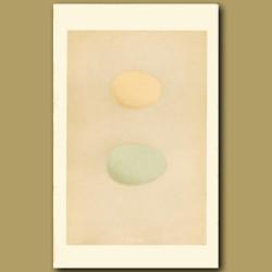 Golden-Eye And Smew Eggs