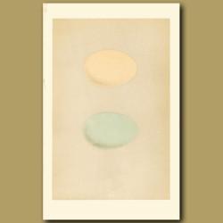 Red-Breasted Merganser And Goosander Eggs