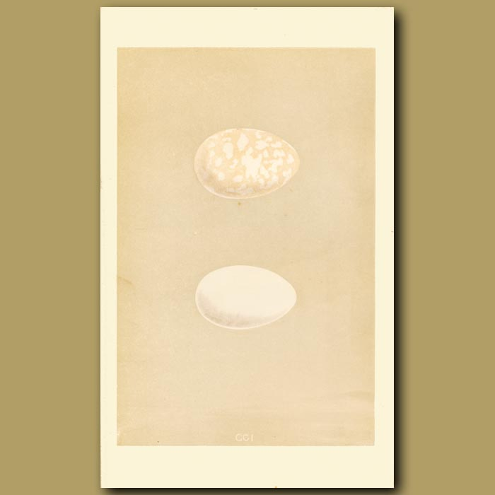 Antique print. Great Crested Grebe And Red-Necked Grebe Eggs