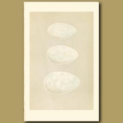 Cormorant And Gannet Eggs