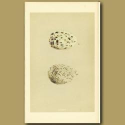 Common Gull Eggs