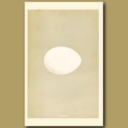 Fulmar Egg