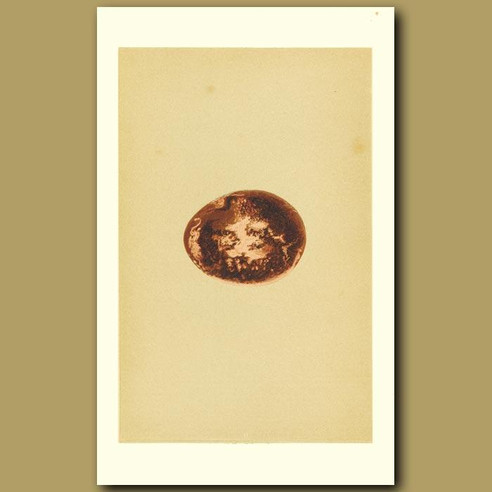 Antique print. Egyptian Vulture Egg