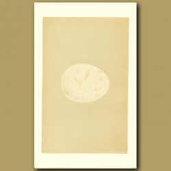 Erne Egg
