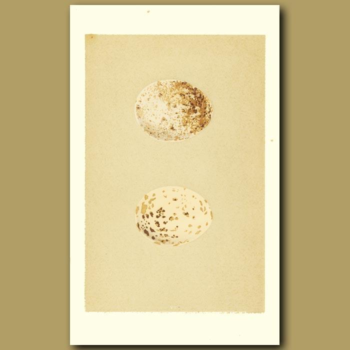 Antique print. Buzzard Egg